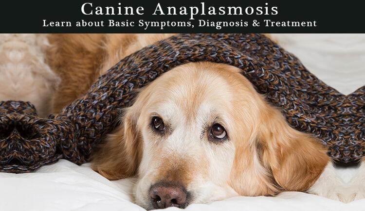 Canine-Anaplasmosis CanadaPetCare.com