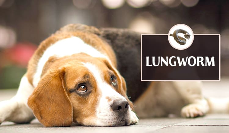 Dog lungworms