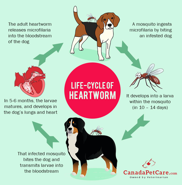 Life cycle of heartworm