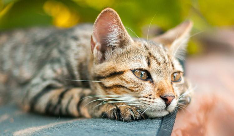 Feline calicivirus in cats