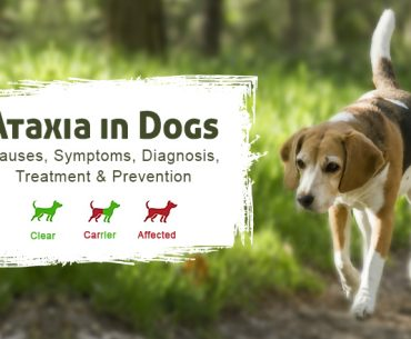 Ataxia in Dogs